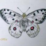 Apollo Schmetterling, Farbstifte, Malkarton, Postkartengröße